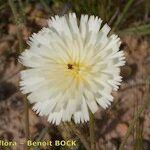 Picris albida