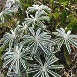 Lupinus albifrons Lehti