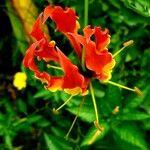 Colchicaceae