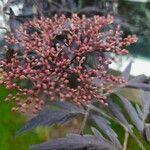 Sambucus nigra Kukka