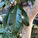 Eriobotrya japonica Leaf