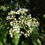 Ehretia philippinensis