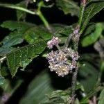 Psychotria pilosa