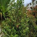 Pyrostria orbicularis Celota