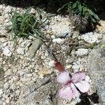 Dianthus siculus