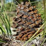 Pinus arizonica