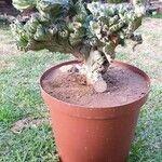 Euphorbia lactea Hoja