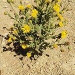 Heterotheca grandiflora Blomma