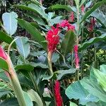 Alpinia purpurata Flower