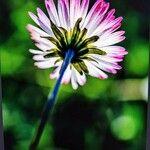 Bellis sylvestris Flower