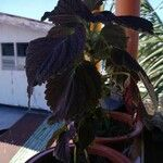 Plectranthus scutellarioides Hoja