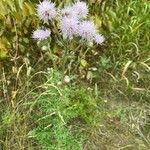 Cirsium arvense Flor