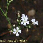 Gypsophila scorzonerifolia