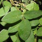 Piper tuberculatum