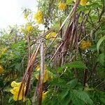 Tecoma stans Frucht