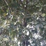 Pachira quinata