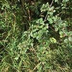 Cotoneaster insculptus
