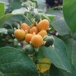 Solanum abutiloides