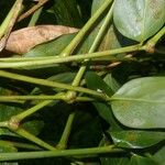Stromanthe tonckat