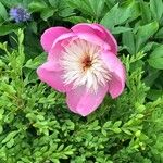 Paeonia officinalis Flower
