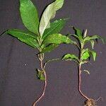 Palicourea padifolia