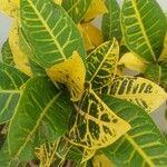 Croton salviformis