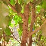 Ficus benjamina Kôra