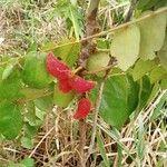 Connaraceae