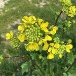 Brassica juncea