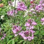 Cleome hassleriana Flower
