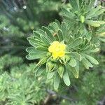 Suriana maritima Flor