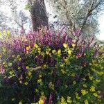 Melilotus officinalis 花