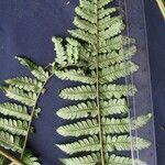 Megalastrum subincisum