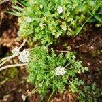 Hornungia procumbens