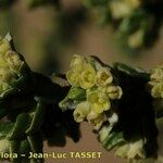 Thymelaea lythroides