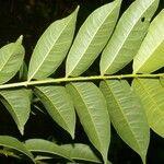 Lonchocarpus atropurpureus