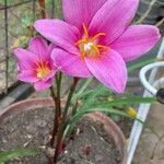 Zephyranthes carinata