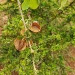 Combretaceae