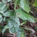 Melicoccus bijugatus 葉
