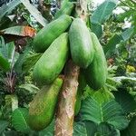 Carica papaya Fruit