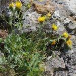 Hieracium colmeiroanum
