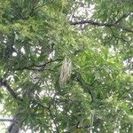 Alstonia macrophylla