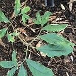 Arisaema serratum