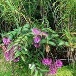 Epidendrum porphyreum Hábito