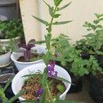 Angelonia biflora