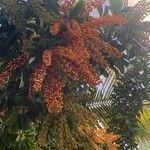 Schefflera arboricola Frukt