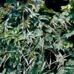 Bromopsis ramosa