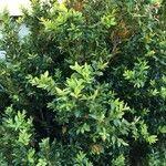 Buxus sempervirens 葉