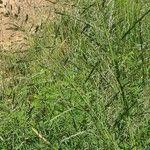 Sporobolus fimbriatus