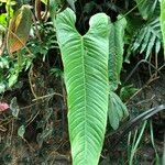 Anthurium veitchii
